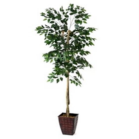 Ficus Tree, 6 ft.