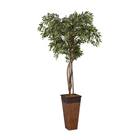 Variegated Ruscus Tree, 8 ft.